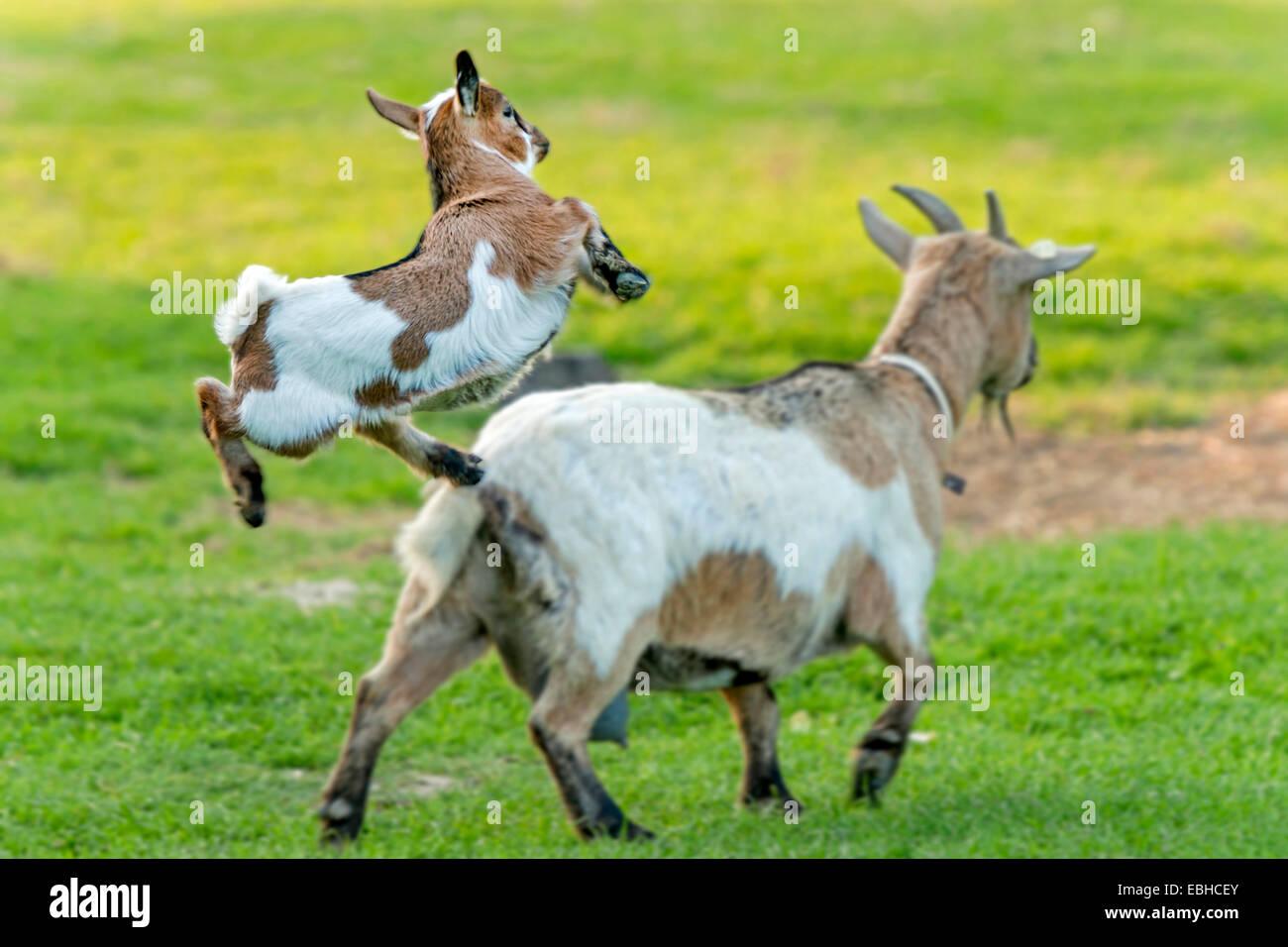 domestic goat (Capra hircus, Capra aegagrus f. hircus ...
