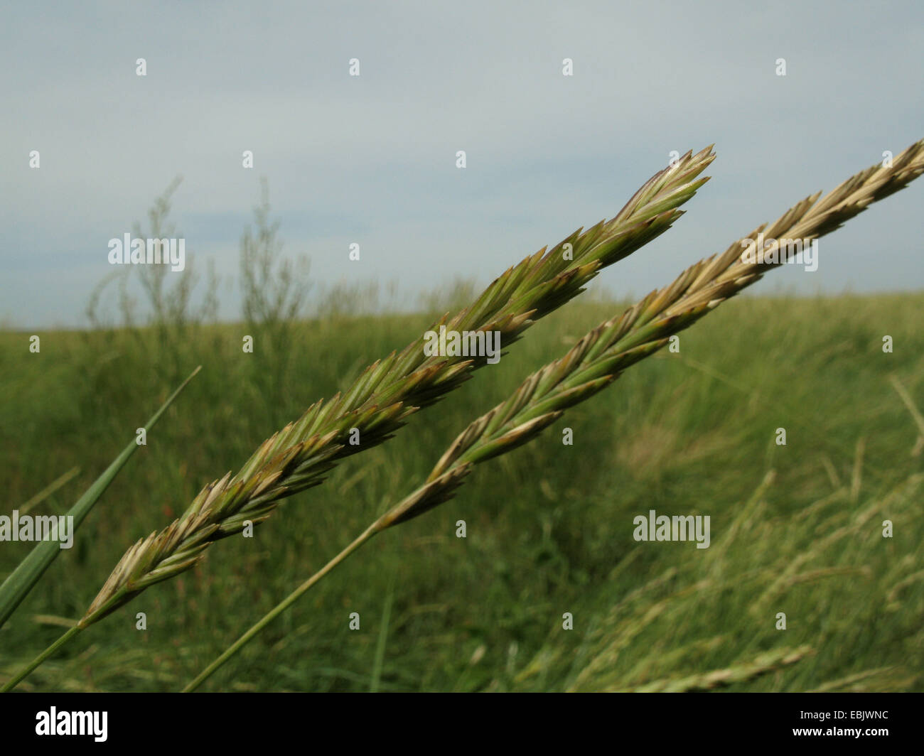 Grass Couch Couch Grass Stock Photos Couch Grass Stock Images Alamy