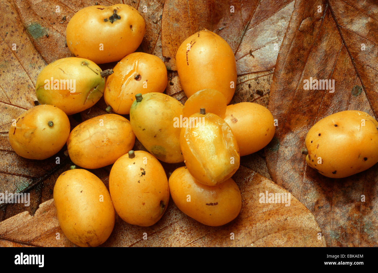 hog plum stock photos u0026 hog plum stock images alamy
