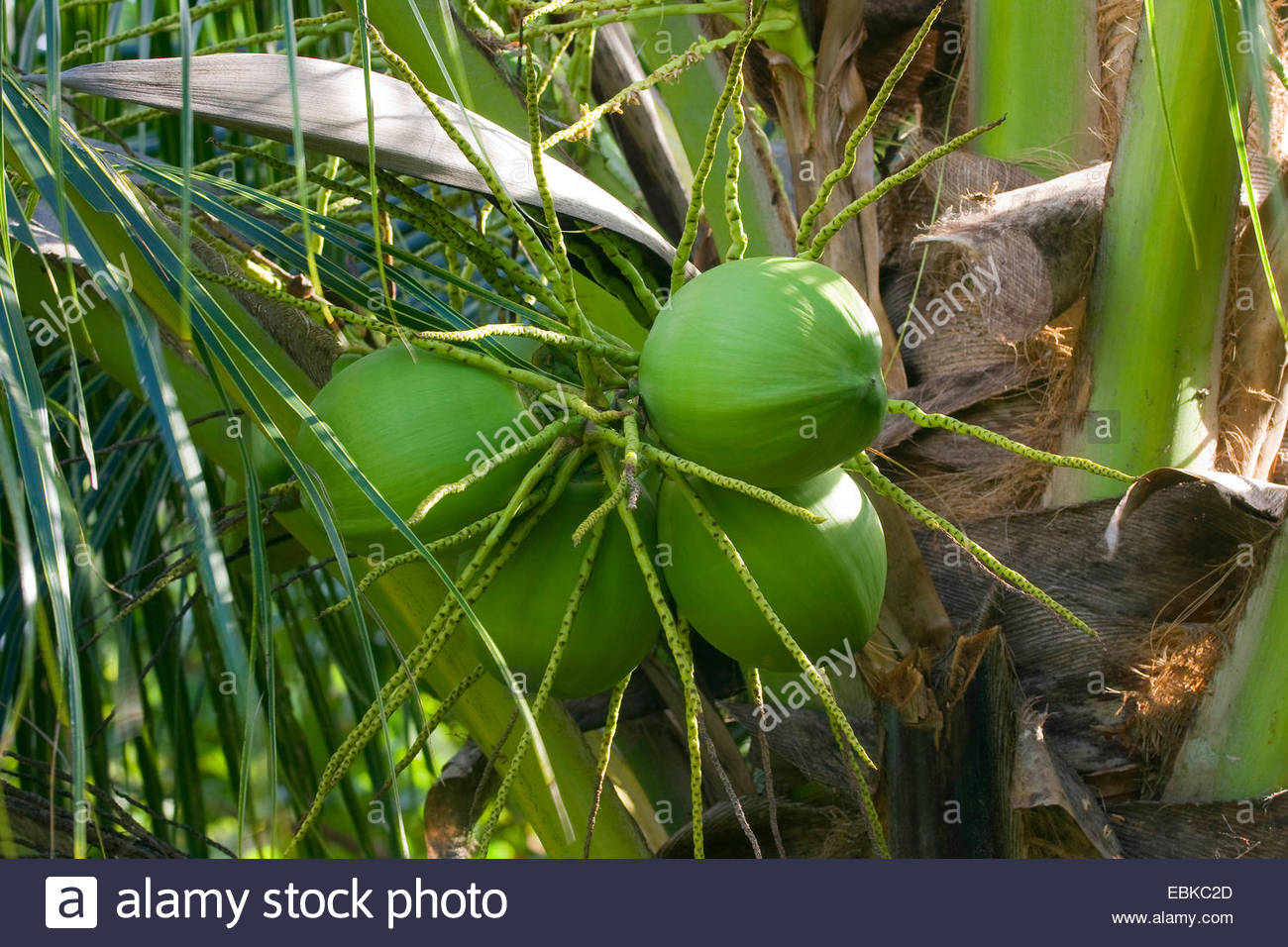 coconut palm cocos nucifera coconuts on a tree thailand stockfoto lizenzfreies bild. Black Bedroom Furniture Sets. Home Design Ideas