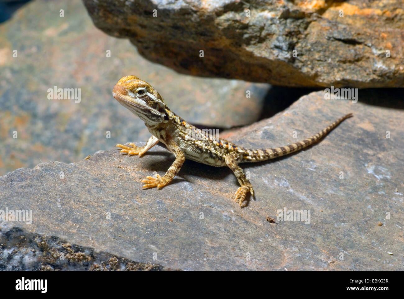 Black-soil Bearded Dragon (Pogona henrylawsoni), on a ...
