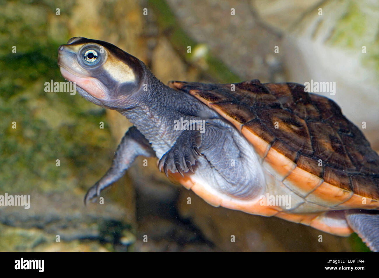 Up For sale is our pet Short Neck Turtle Unsure on the sex and age of the Turtle Has been well looked after Smoked free home Ideal for a pond or large tank We like our Turtle to go to another good home.