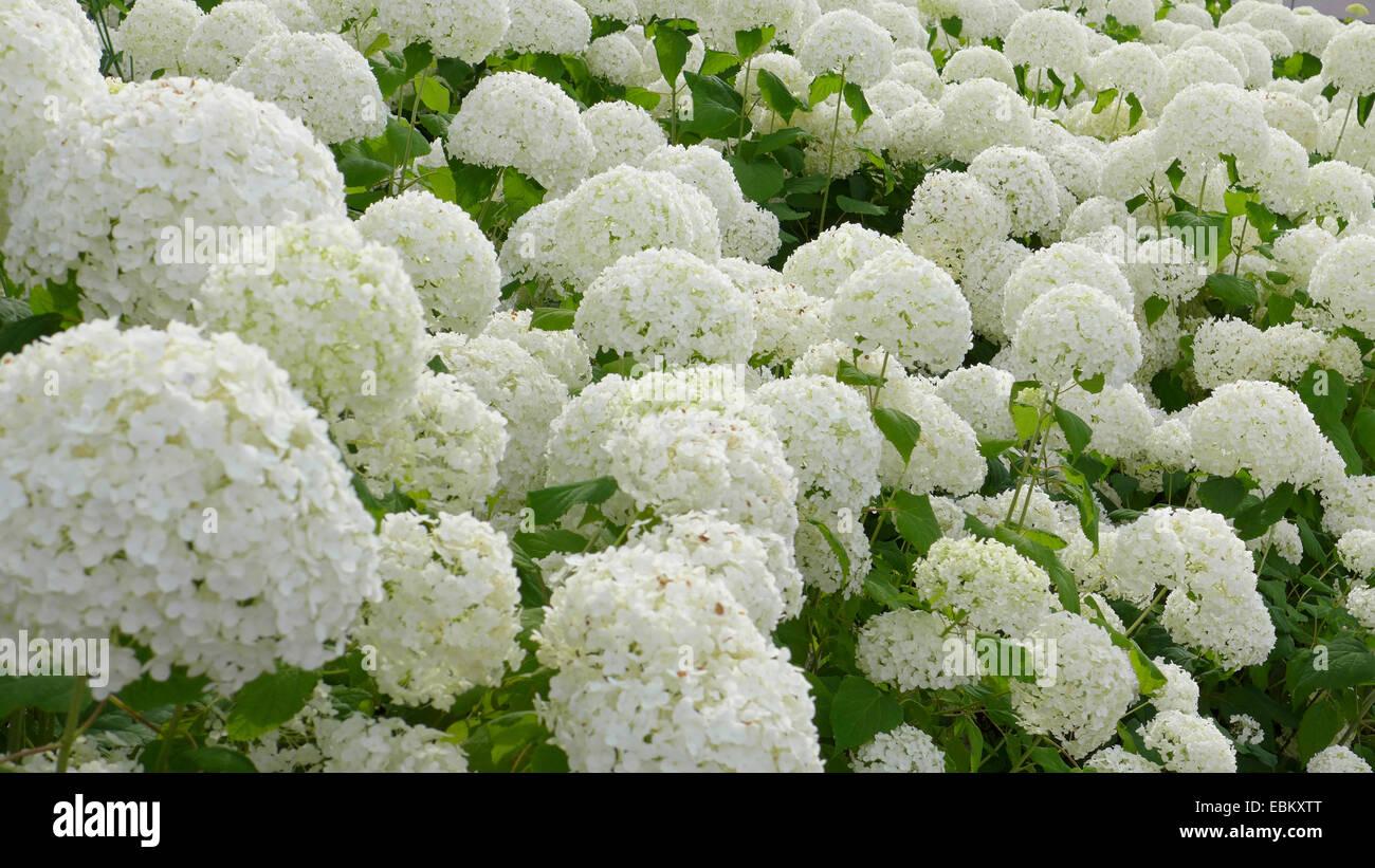 garden hydrangea lace cap hydrangea hydrangea macrophylla white blooming garden hydrangeas germany - White Hydrangea