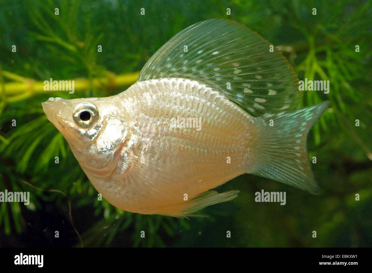 Red molly fish breeding images for Molly fish for sale