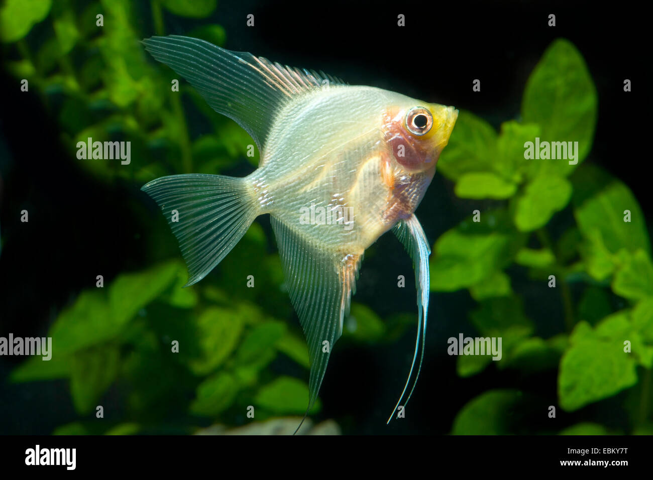 How to Breed Angelfish