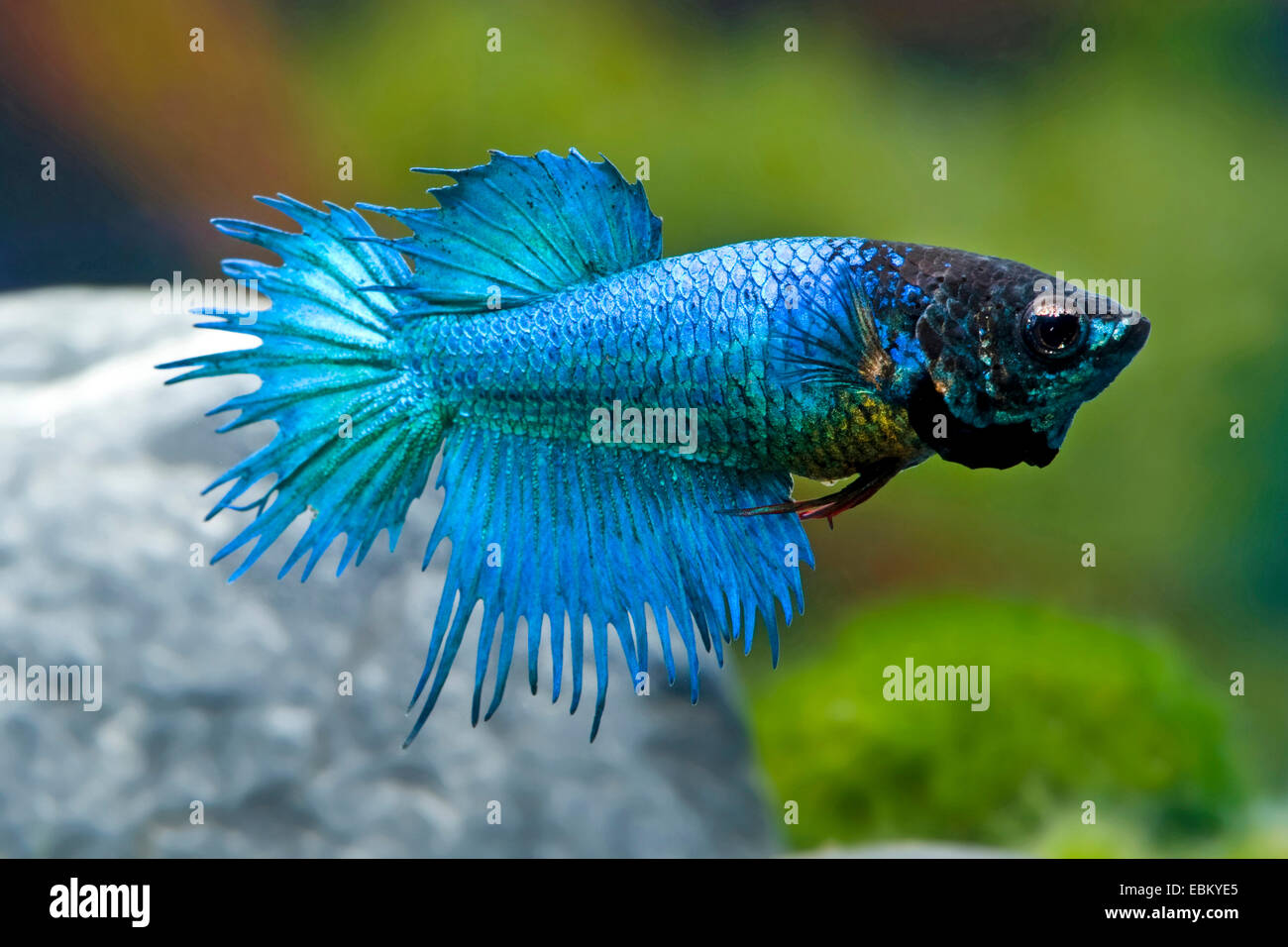Blue crowntail betta