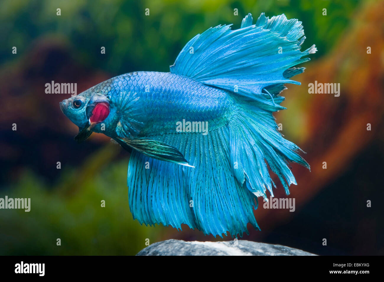 Siamese fighting fish siamese fighter betta splendens for Order betta fish