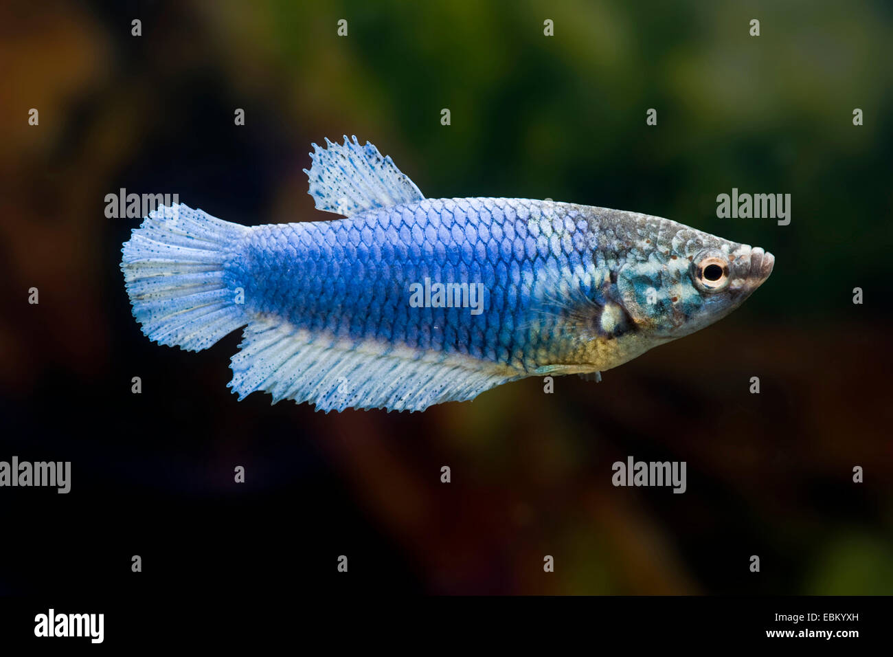 Siamese fighting fish, Siamese fighter (Betta splendens ...