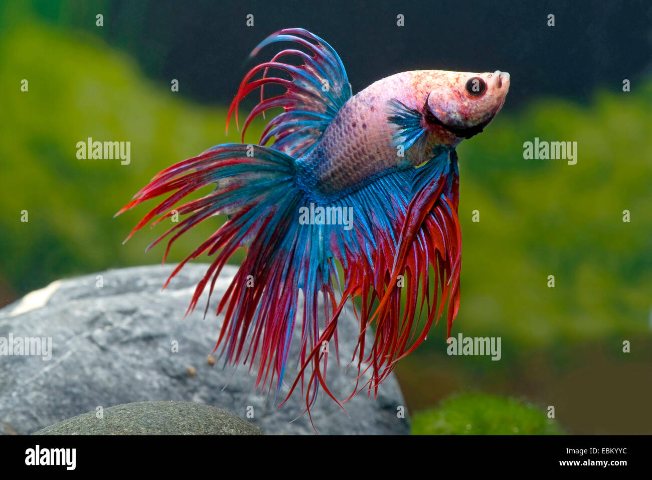 Siamese fighting fish siamese fighter betta splendens for Betta fish mating