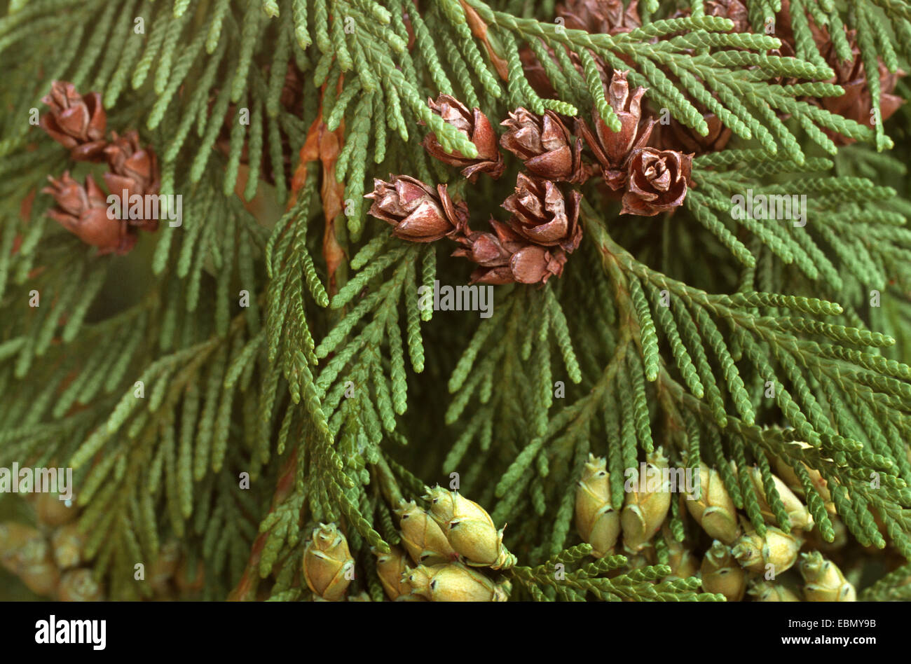 red cedar  thuja plicata   cones at a branch stock photo  royalty free image  76063159