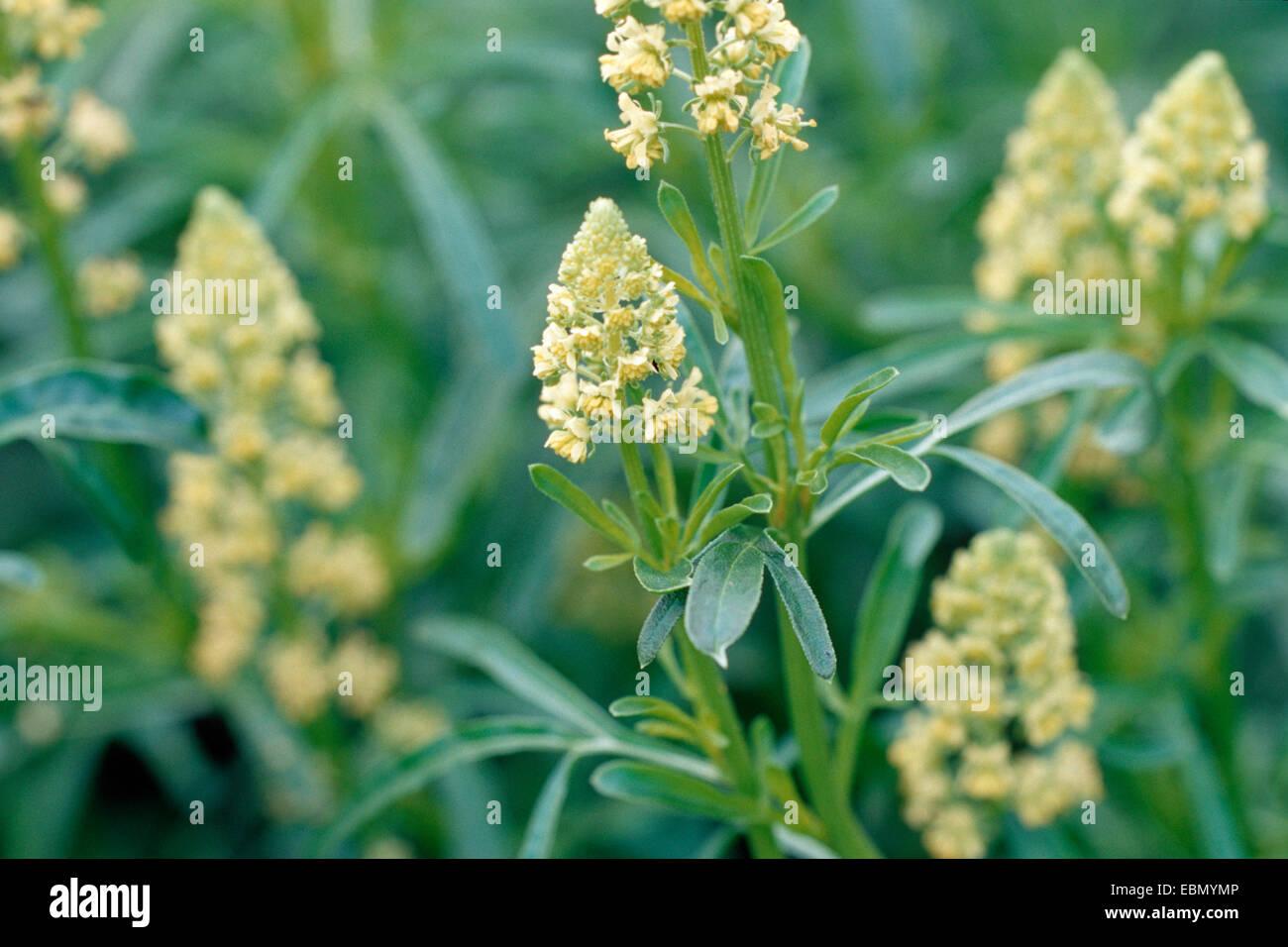 Reseda (plant) - Wikipedia