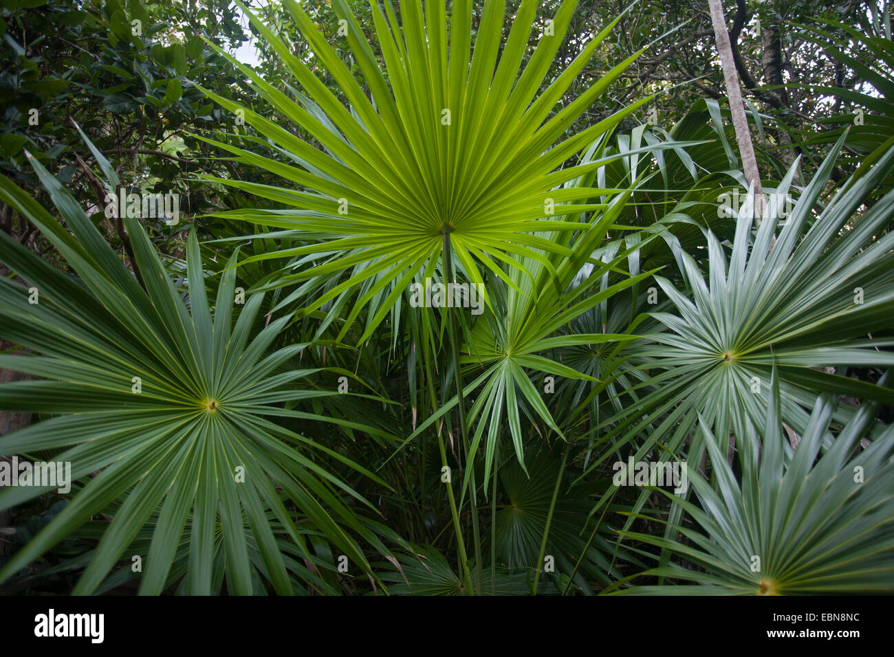 florida thatch palm  thrinax radiata  curry hammock state park florida usa florida thatch palm  thrinax radiata  curry hammock state park      rh   alamy