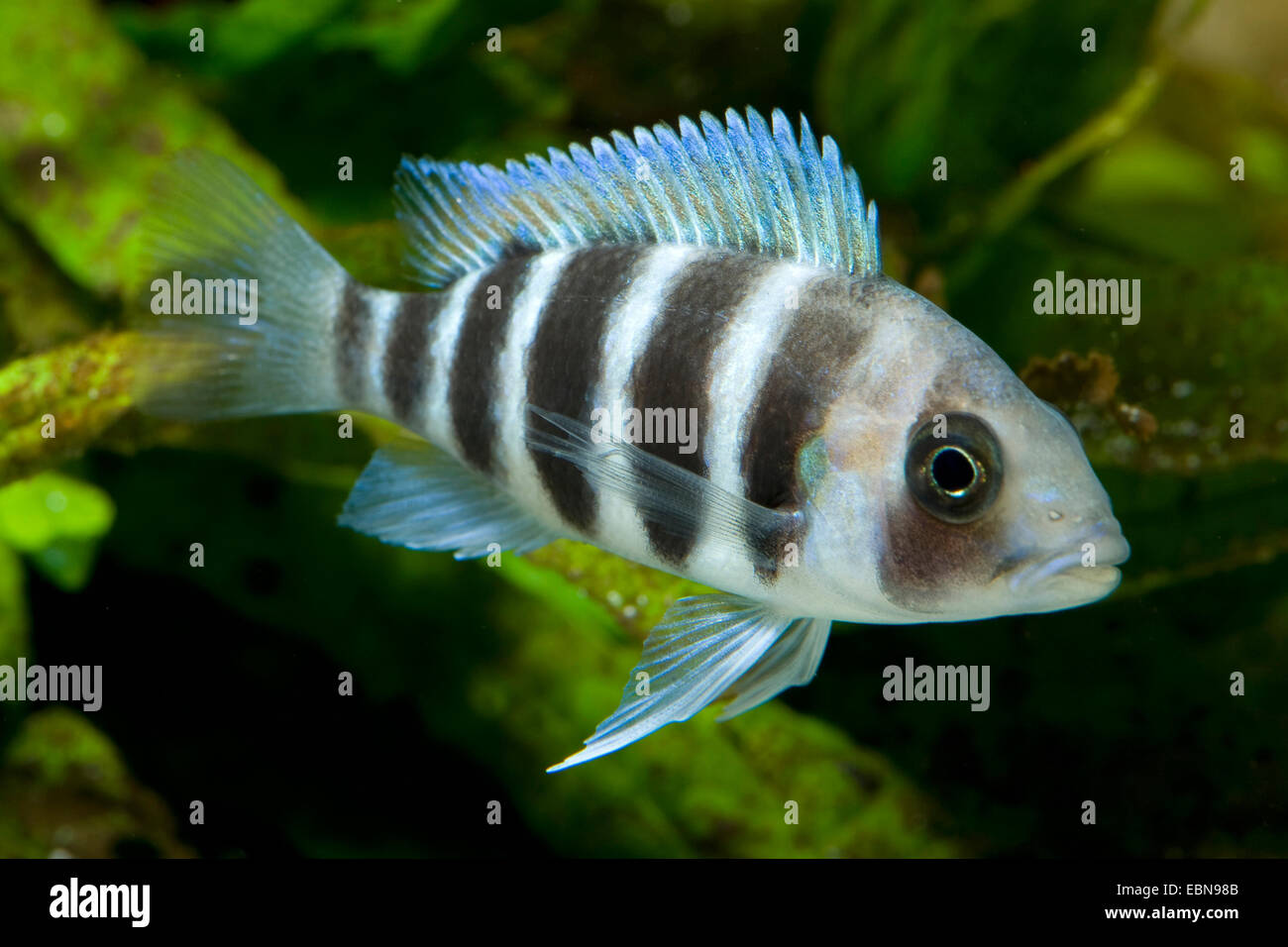 Humphead cichlid frontosa cyphotilapia frontosa for Tilapia swimming