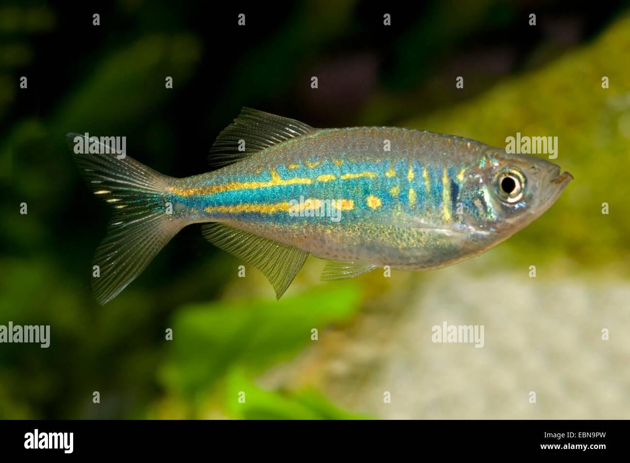 Giant danio devario aequipinnatus danio aequipinnatus for Giant danio fish