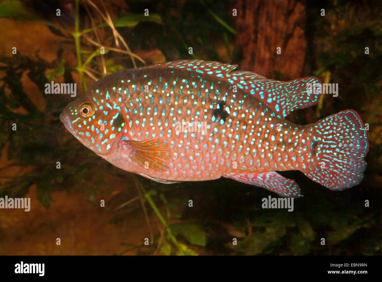 Freshwater jewel fish -  Jewel Fish Jewelfish Red Jewel Fish Red Cichlid Banded Jewel Fish
