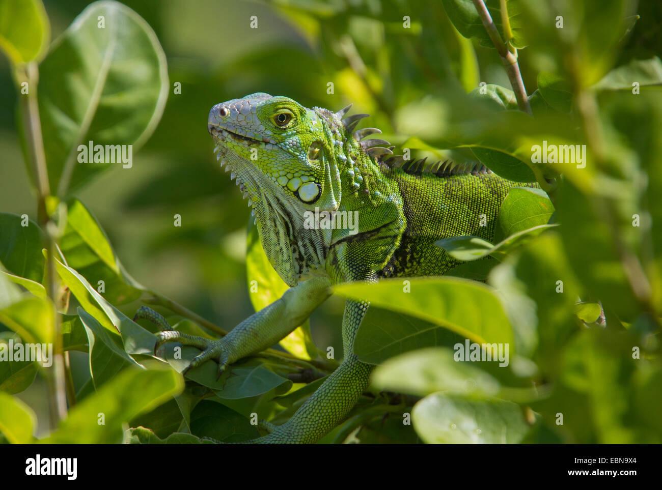 Green Iguana Iguana Iguana Curry Hammock State Park