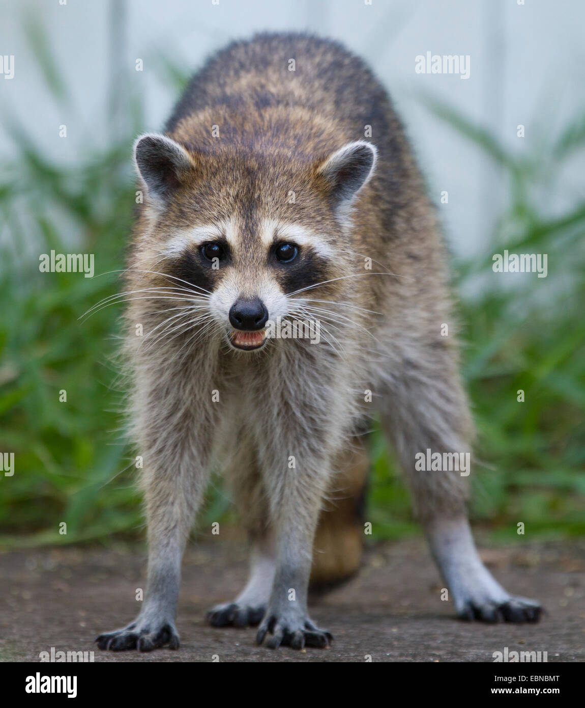 RACCOON (Procyon Lotor) Female In A Backyard, Fort Myers, Florida, USA