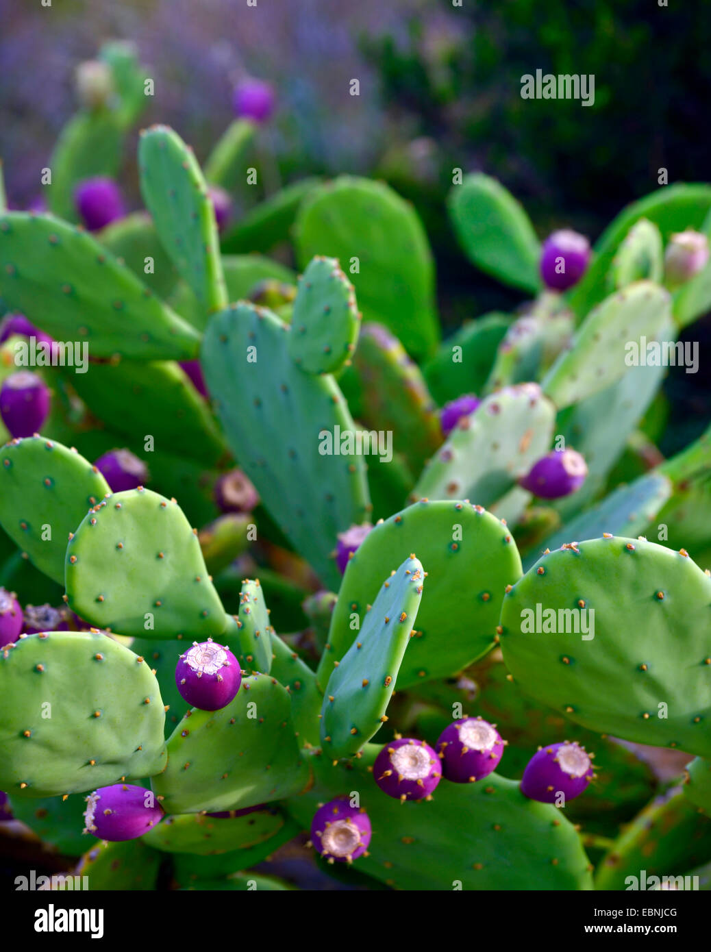 cactus hindu singles One of many types of easy-care cactus,  glossy green leaves spread out from an upright woody plant that's available as a single-trunk tree  hindu rope plant.