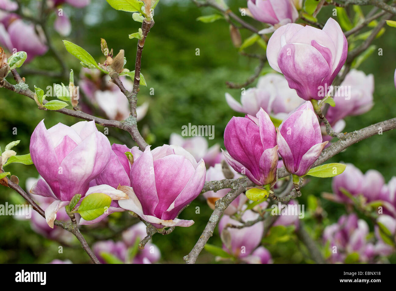saucer magnolia magnolia x soulangiana magnolia soulangiana stock photo 76084100 alamy. Black Bedroom Furniture Sets. Home Design Ideas