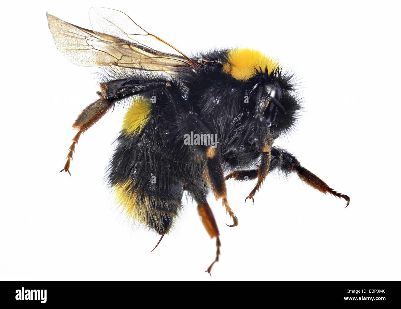 small garden bumble bee bombus hortorum macro shot of a humble