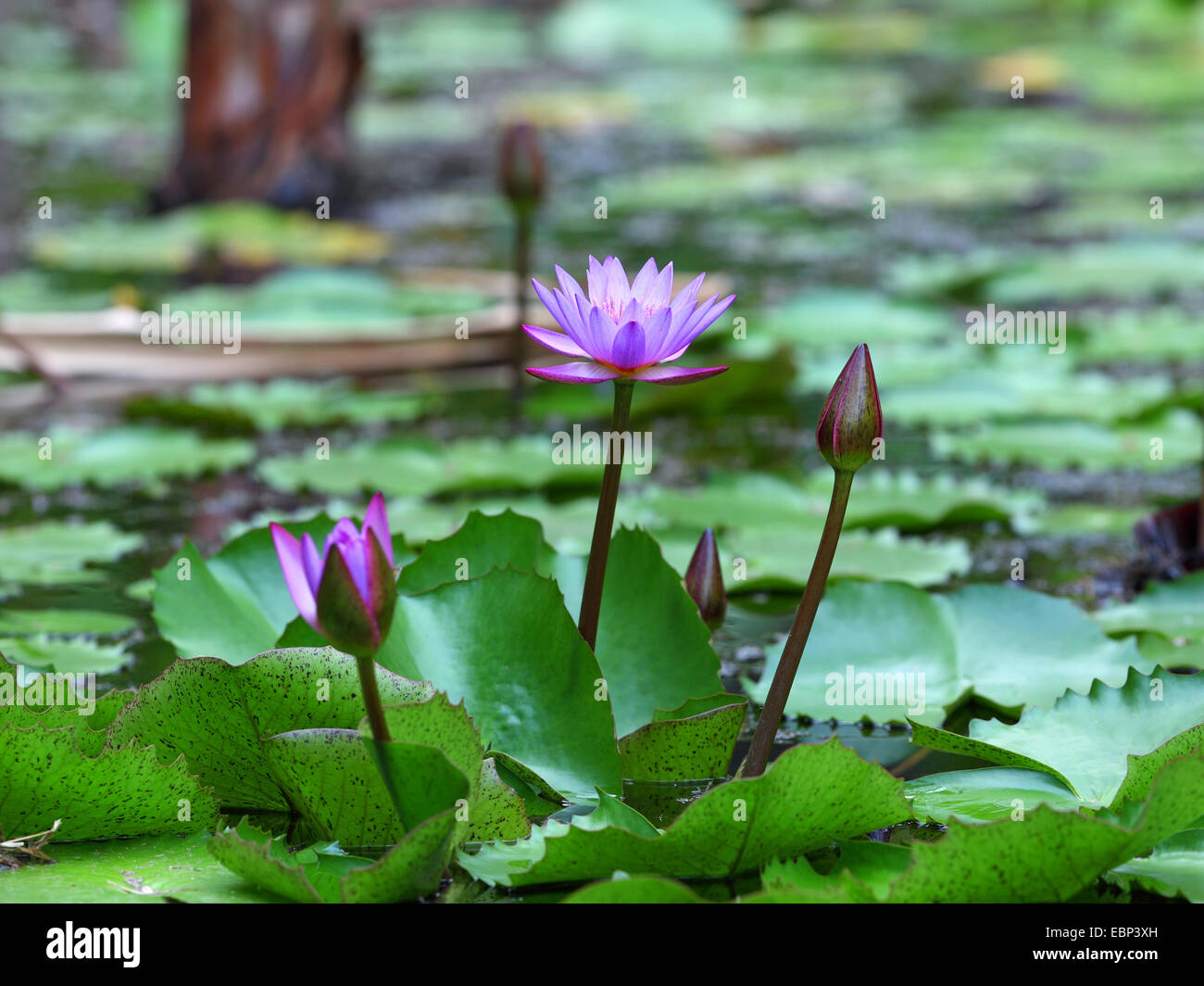 Egyptian lotus flower stock photos egyptian lotus flower stock egyptian lotus blue lotus of the nile blue water lily nymphaea caerulea dhlflorist Images