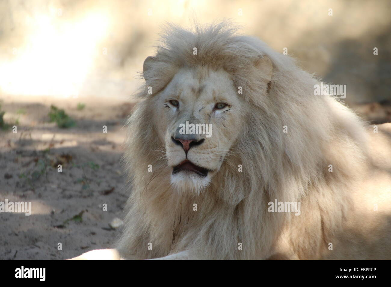close up of the head of a mature white lion panthera leo. Black Bedroom Furniture Sets. Home Design Ideas