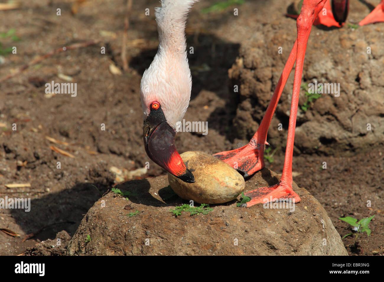 Flamingo nest - photo#55