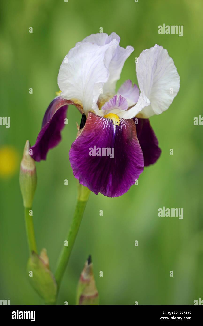 garden iris german iris bearded iris fleur de lis iris stock photo royalty free image. Black Bedroom Furniture Sets. Home Design Ideas