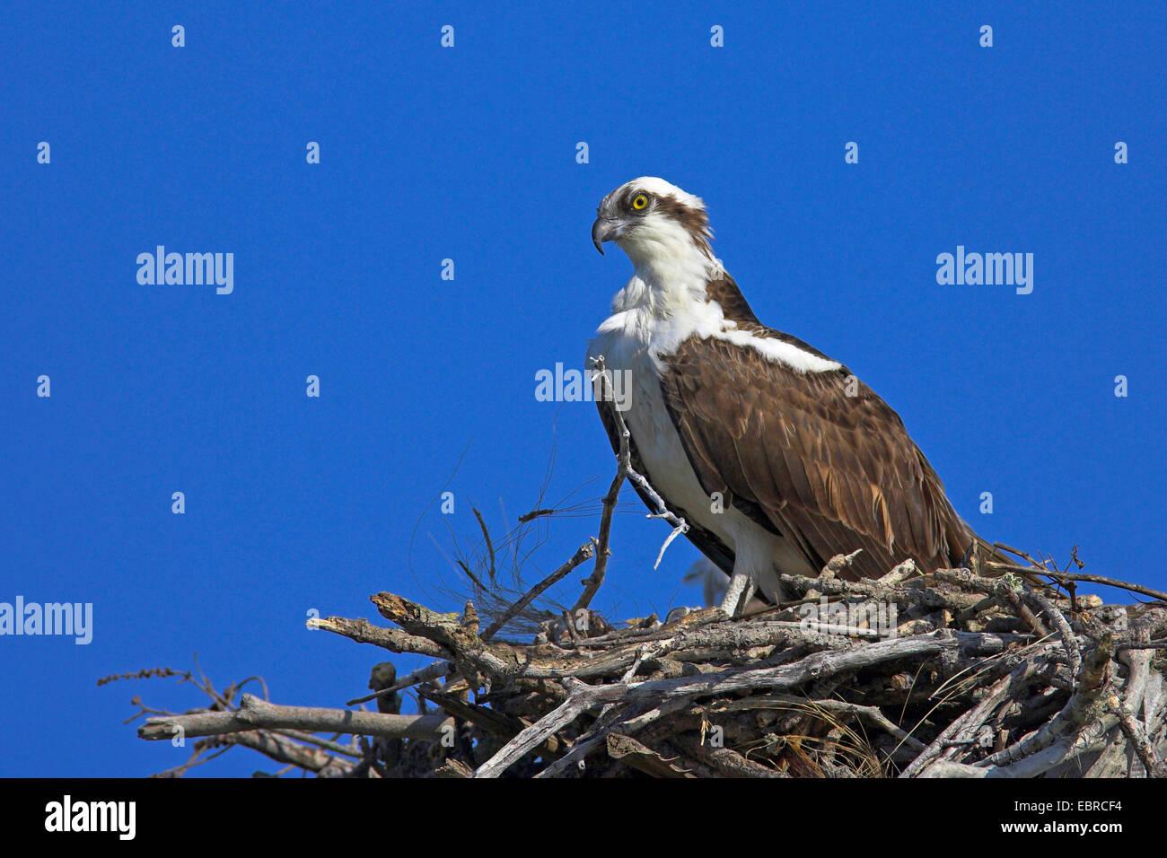 Image gallery osprey fish hawk bird for Fish hawk fl