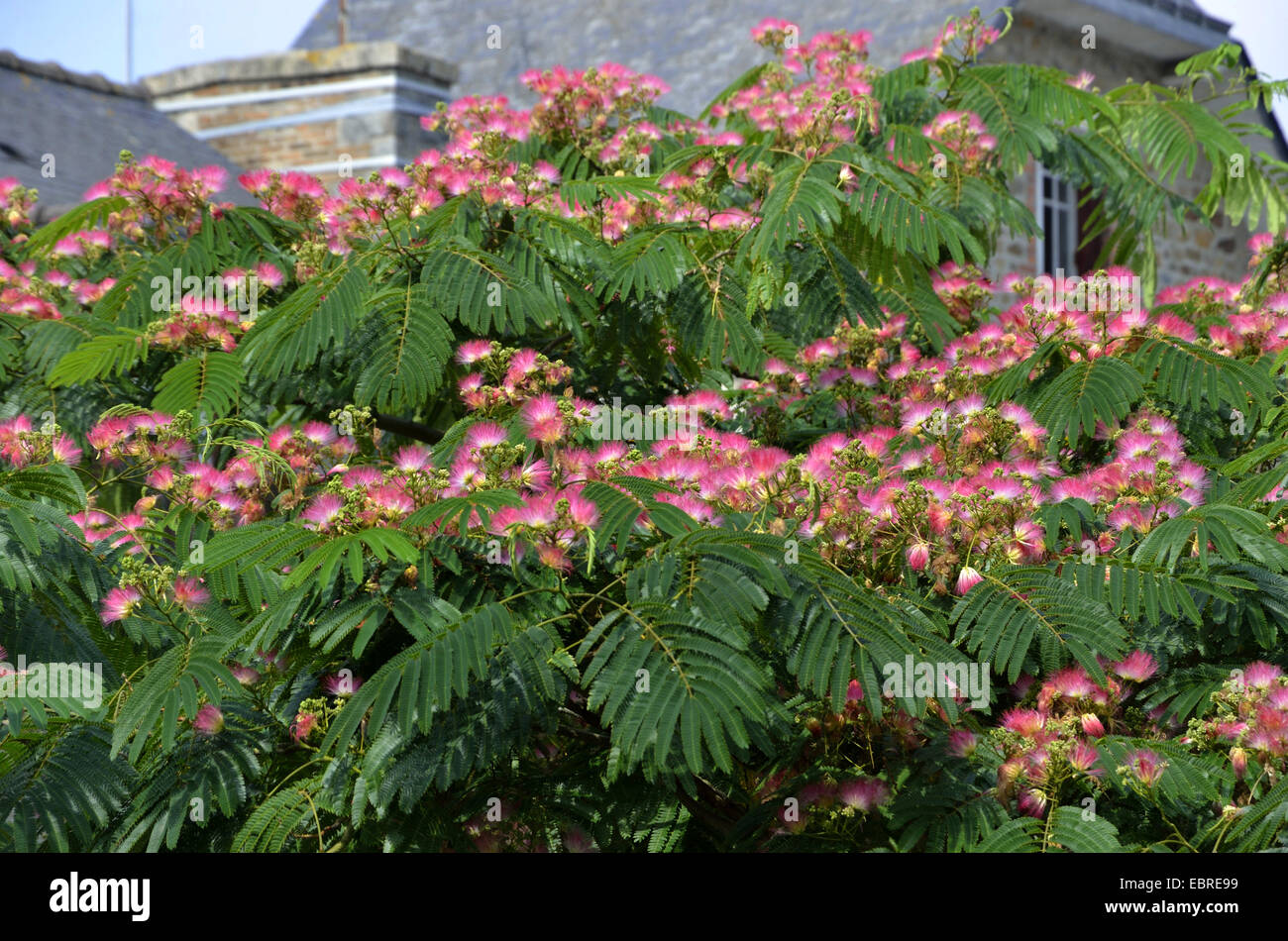 Silk Tree, Pink Siris (Albizia julibrissin), blooming tree, France Stock Photo, Royalty Free