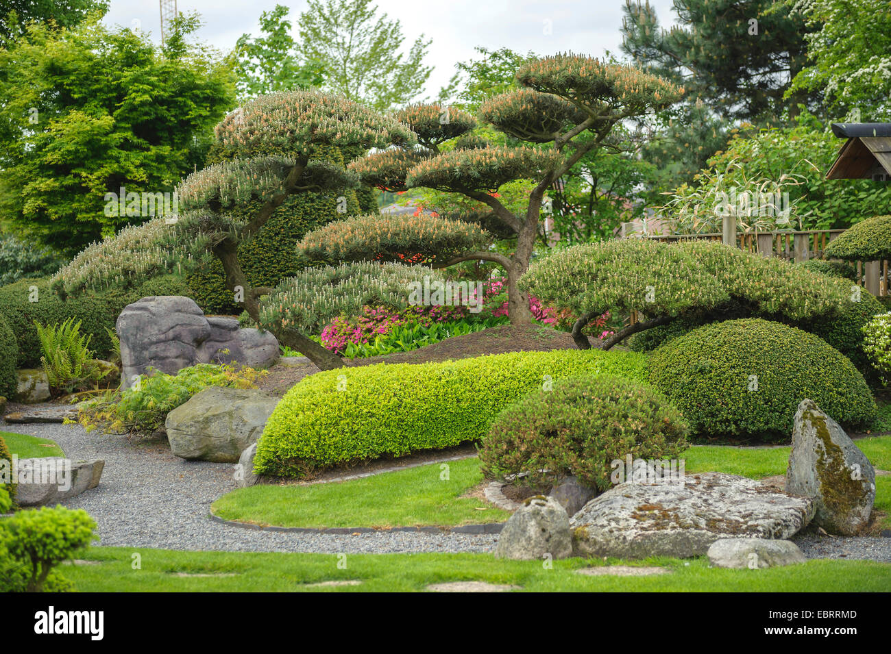 Japanese Garden Plants Mountain Pine Mugo Pine Pinus Mugo Japanese Garden Stock Photo