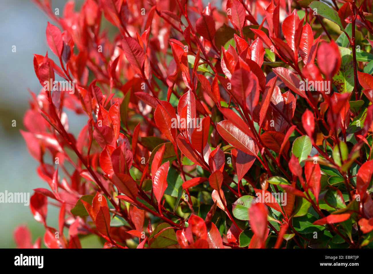 fraser photinia photinia x fraseri 39 little red robin 39 photinia x stock photo 76126926 alamy. Black Bedroom Furniture Sets. Home Design Ideas