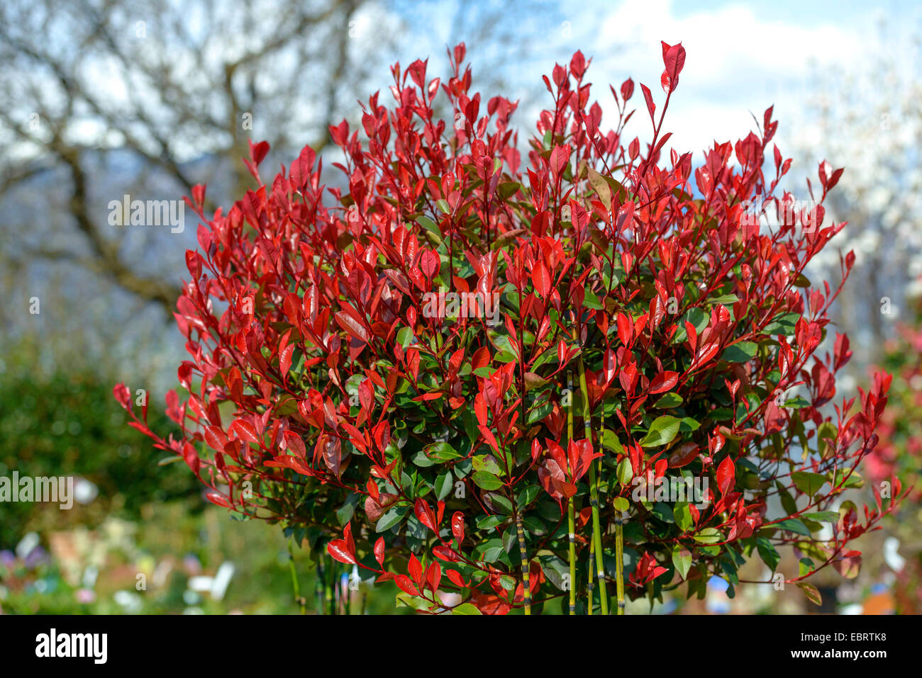 fraser photinia photinia x fraseri 39 little red robin. Black Bedroom Furniture Sets. Home Design Ideas