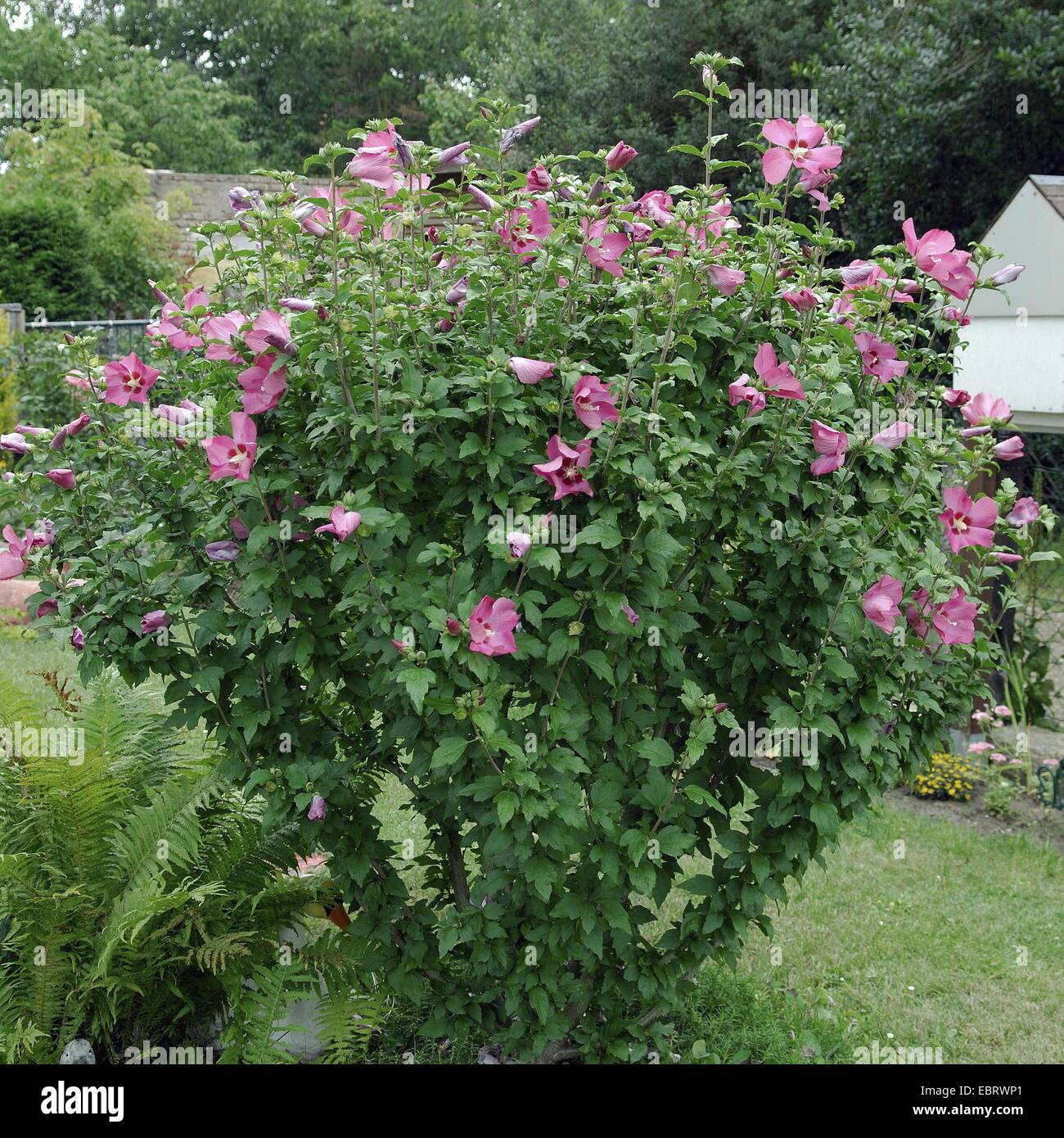 shrubby althaea rose of sharon hibiscus syriacus. Black Bedroom Furniture Sets. Home Design Ideas
