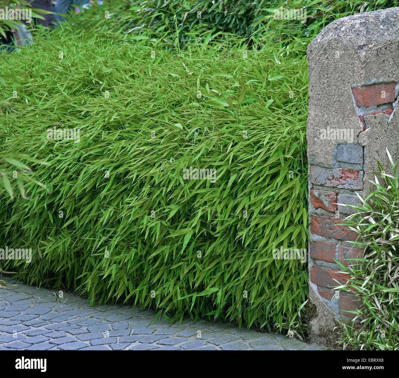 fargesia fargesia rufa bamboo hedge stock photo royalty free image 76128704 alamy. Black Bedroom Furniture Sets. Home Design Ideas