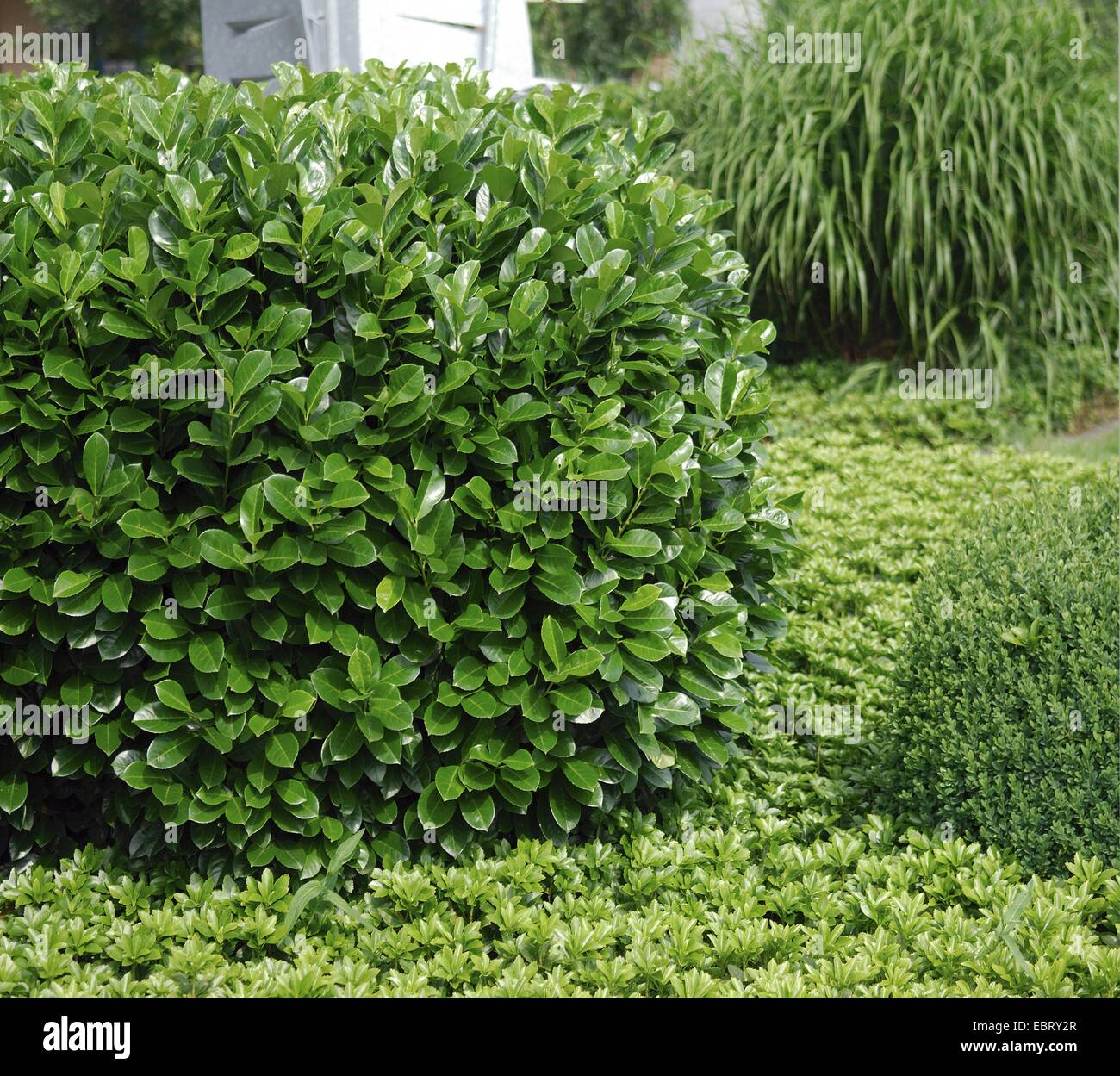 cherry laurel prunus laurocerasus 39 rotundifolia 39 prunus stock photo 76128831 alamy. Black Bedroom Furniture Sets. Home Design Ideas