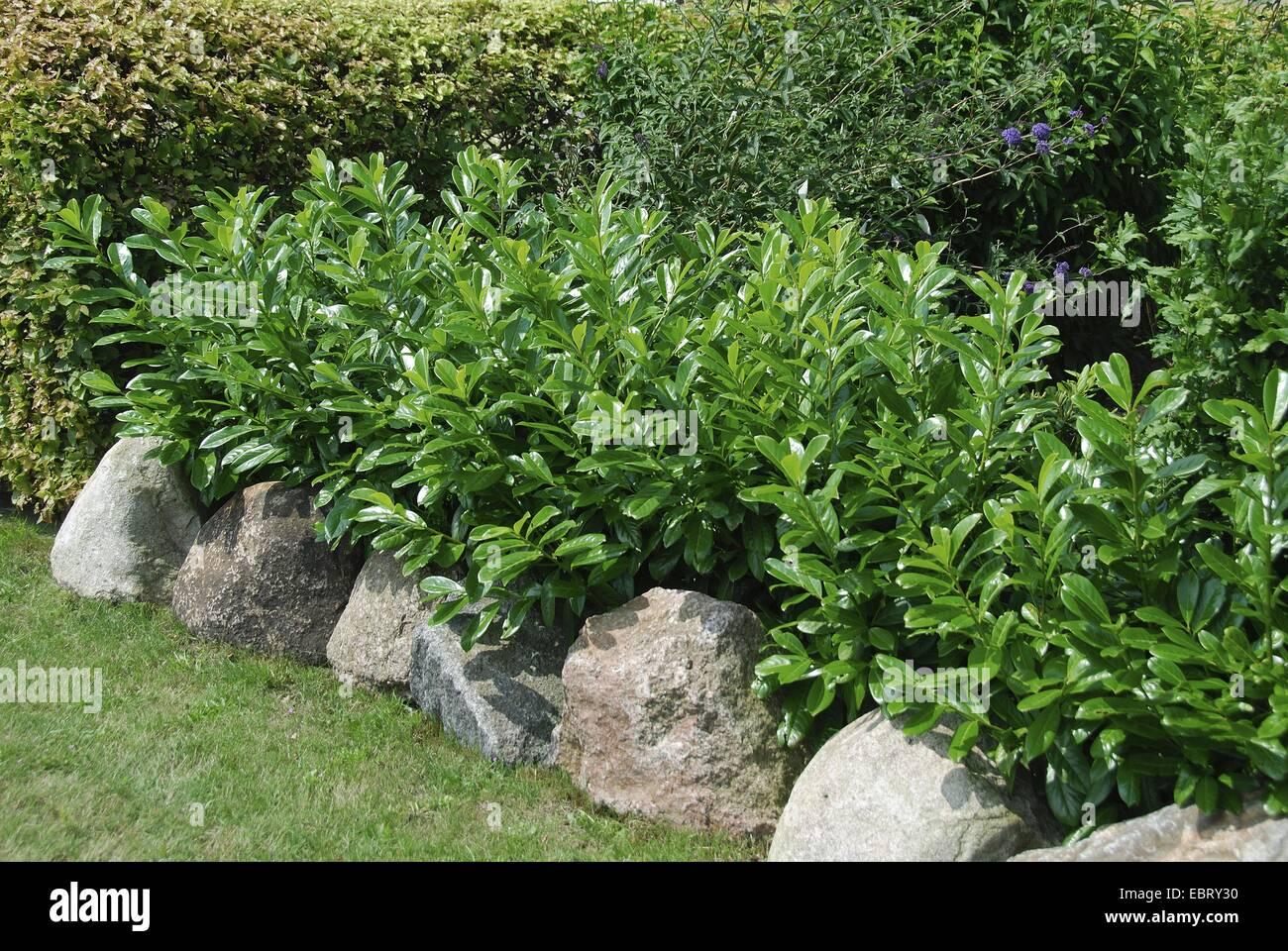 cherry laurel prunus laurocerasus 39 caucasica 39 prunus. Black Bedroom Furniture Sets. Home Design Ideas