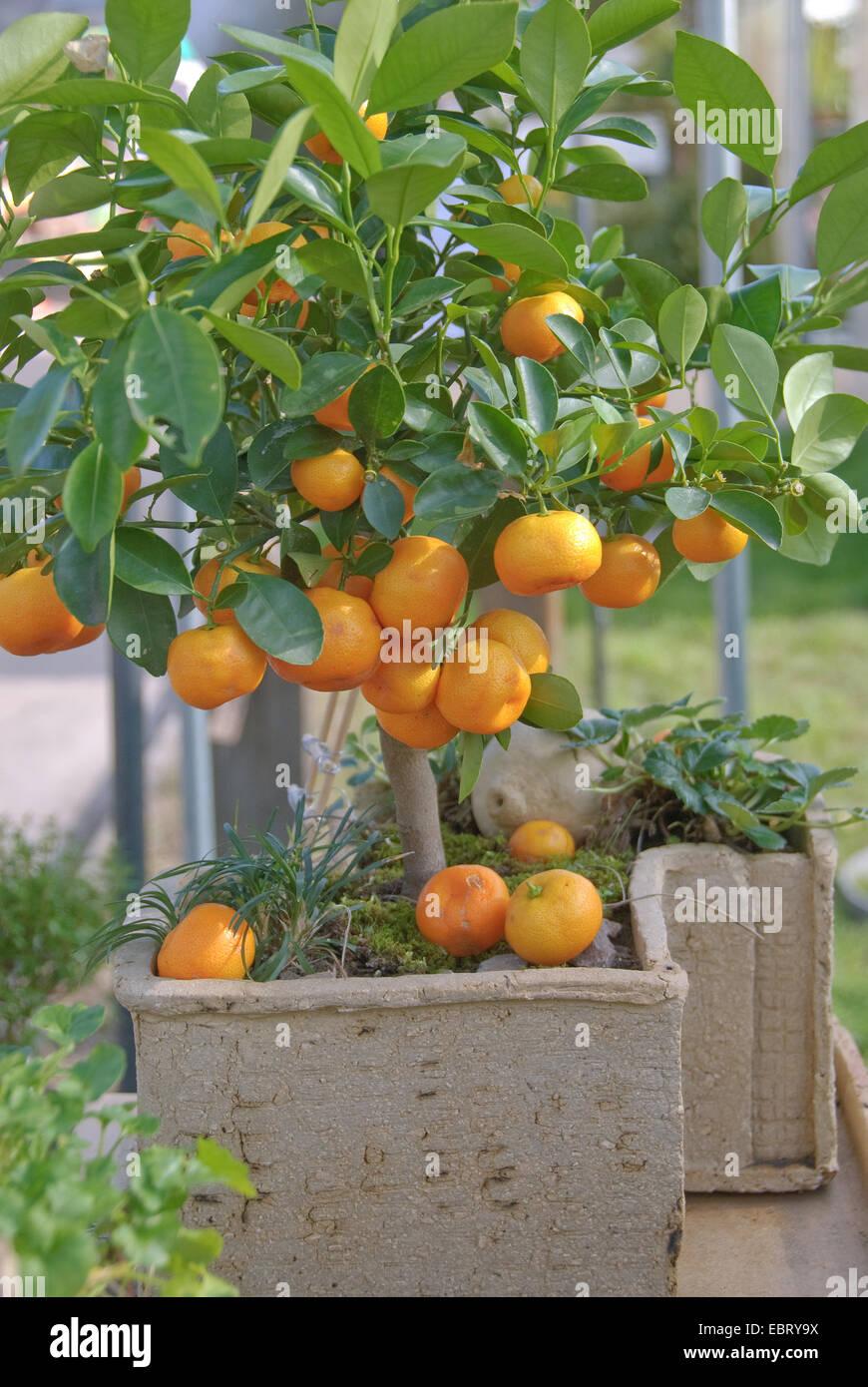 calamondine citrofortunella microcarpa citrus fortunella citrus stock photo 76129030 alamy. Black Bedroom Furniture Sets. Home Design Ideas