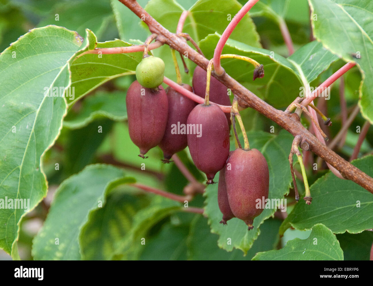 tara vine bower actinidia mini kiwi actinidia arguta 39 kiwai stock photo royalty free image. Black Bedroom Furniture Sets. Home Design Ideas
