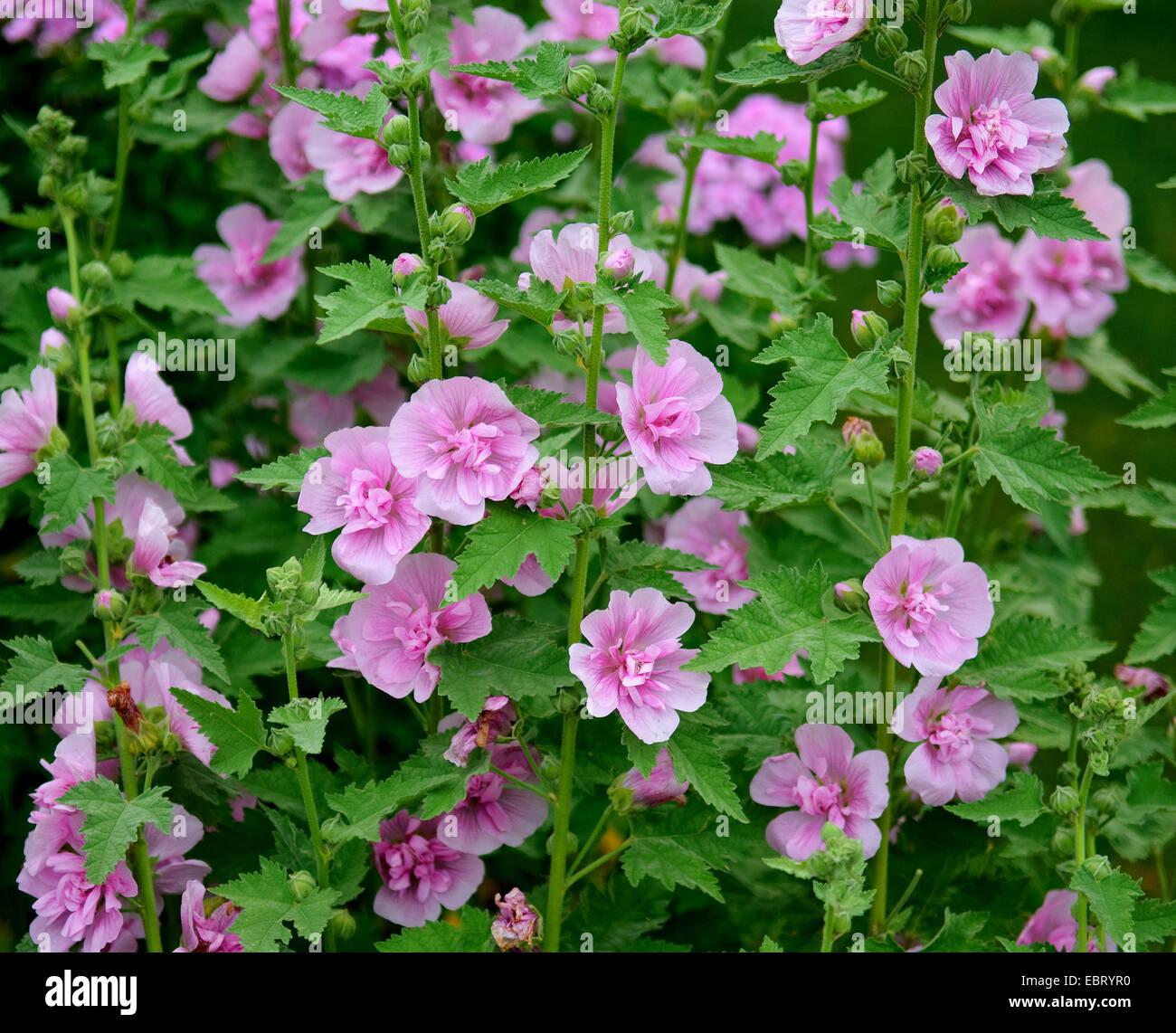 Holly hock hollyhock alcea rosea 39 parkrondell 39 alcea for Alcea rosea