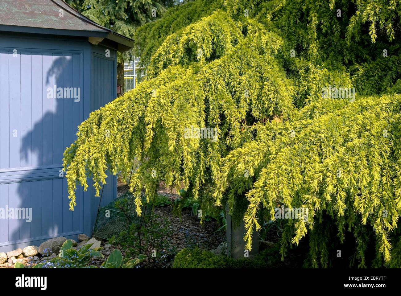 Yellow Deodar Cedar Yellow Indian