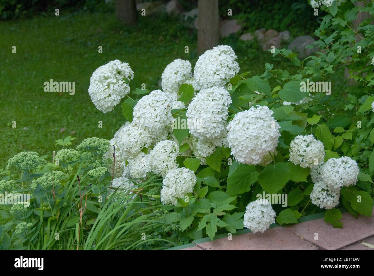 Wild hydrangea hydrangea arborescens 39 annabelle for Annabelle hydrangea
