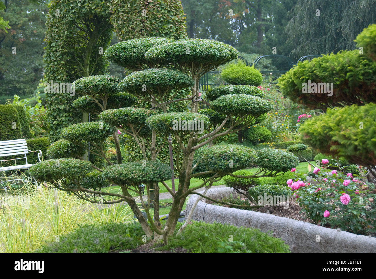japanese holly ilex crenata garden bonsai stock photo. Black Bedroom Furniture Sets. Home Design Ideas