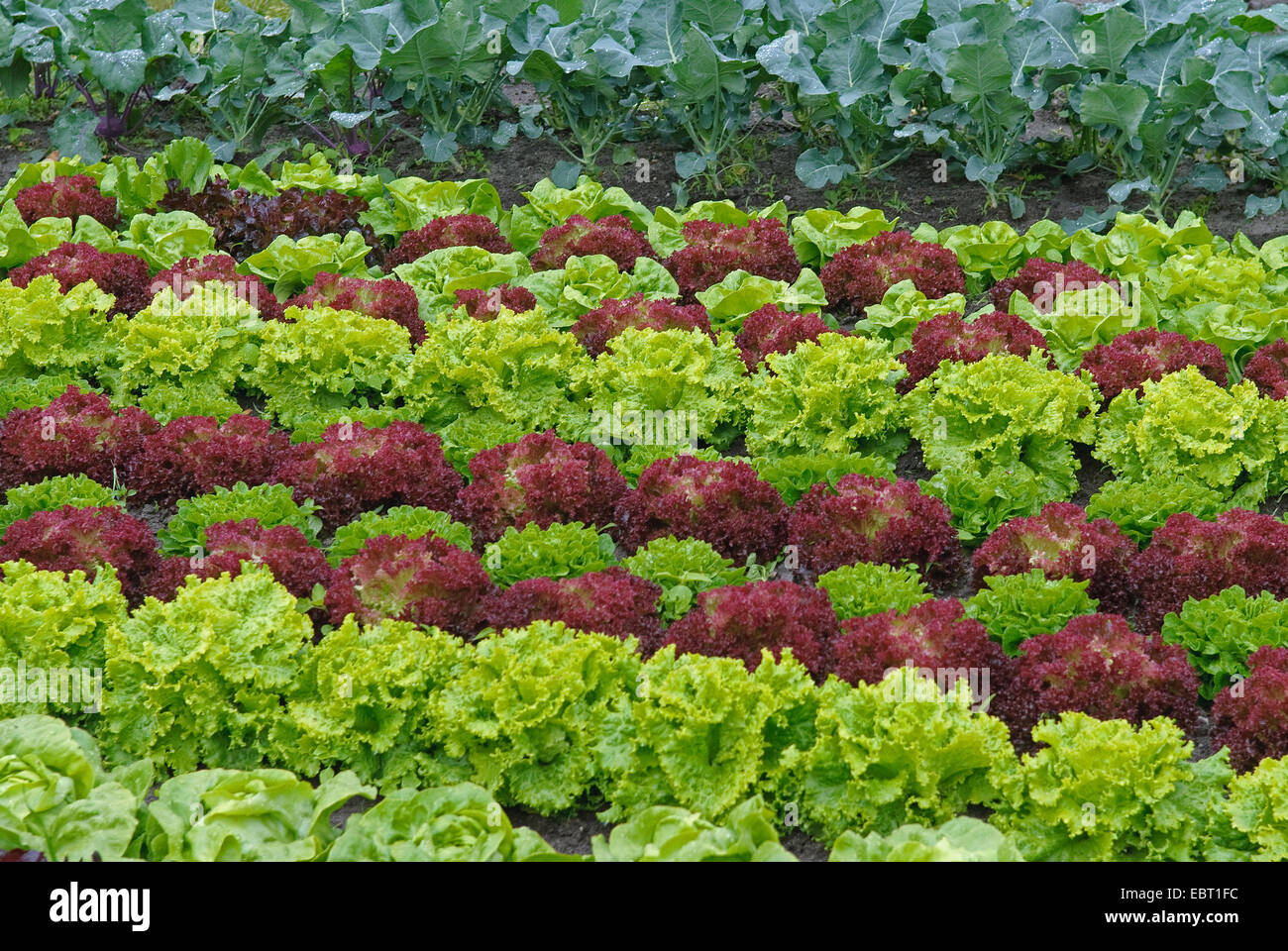 garden lettuce lactuca sativa 39 lollo rosso 39 lactuca sativa lollo stock photo royalty free. Black Bedroom Furniture Sets. Home Design Ideas
