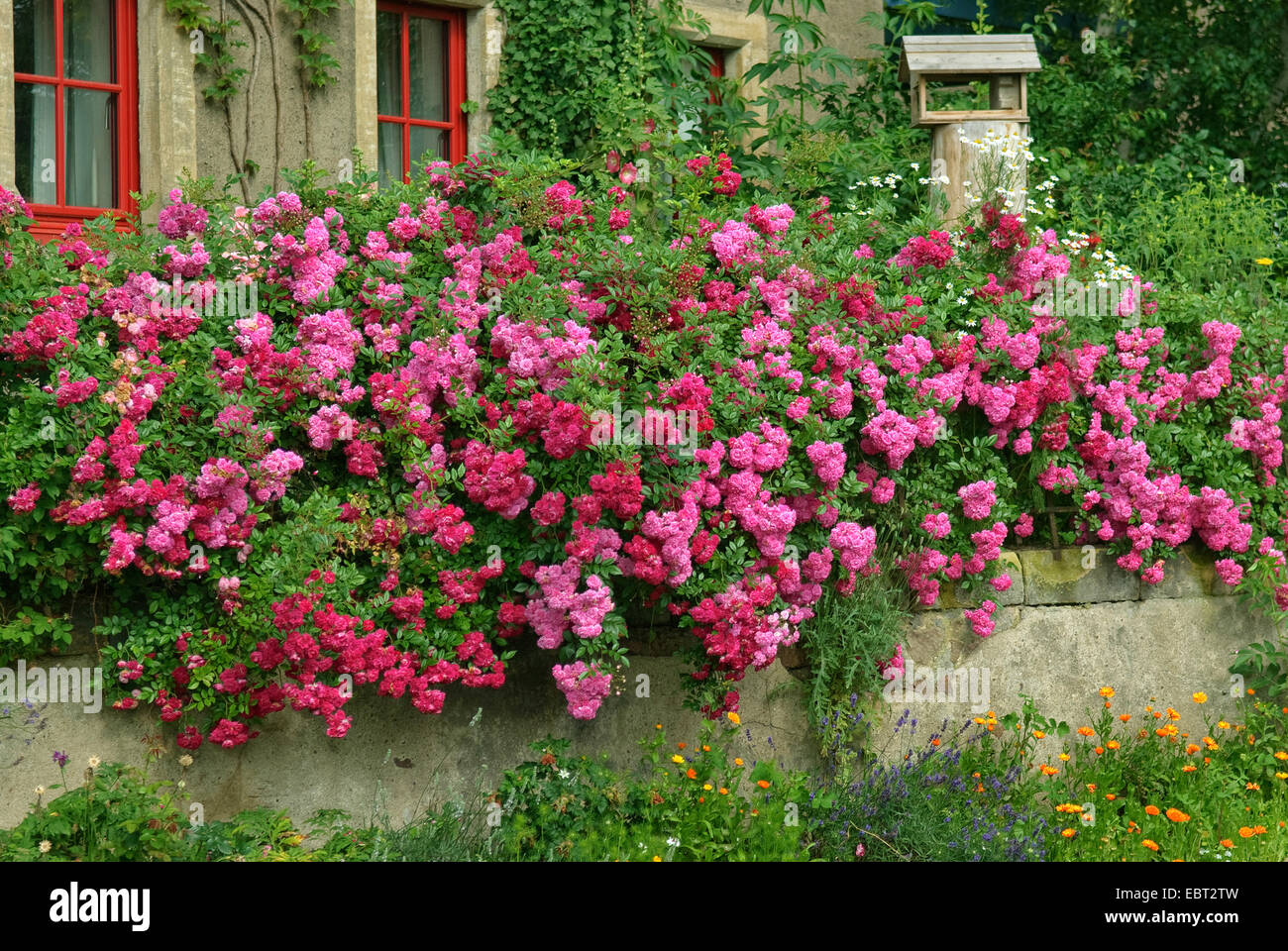Ornamental rose rosa 39 super excelsa 39 rosa super excelsa cultivar stock photo royalty free - Rose cultivars garden ...