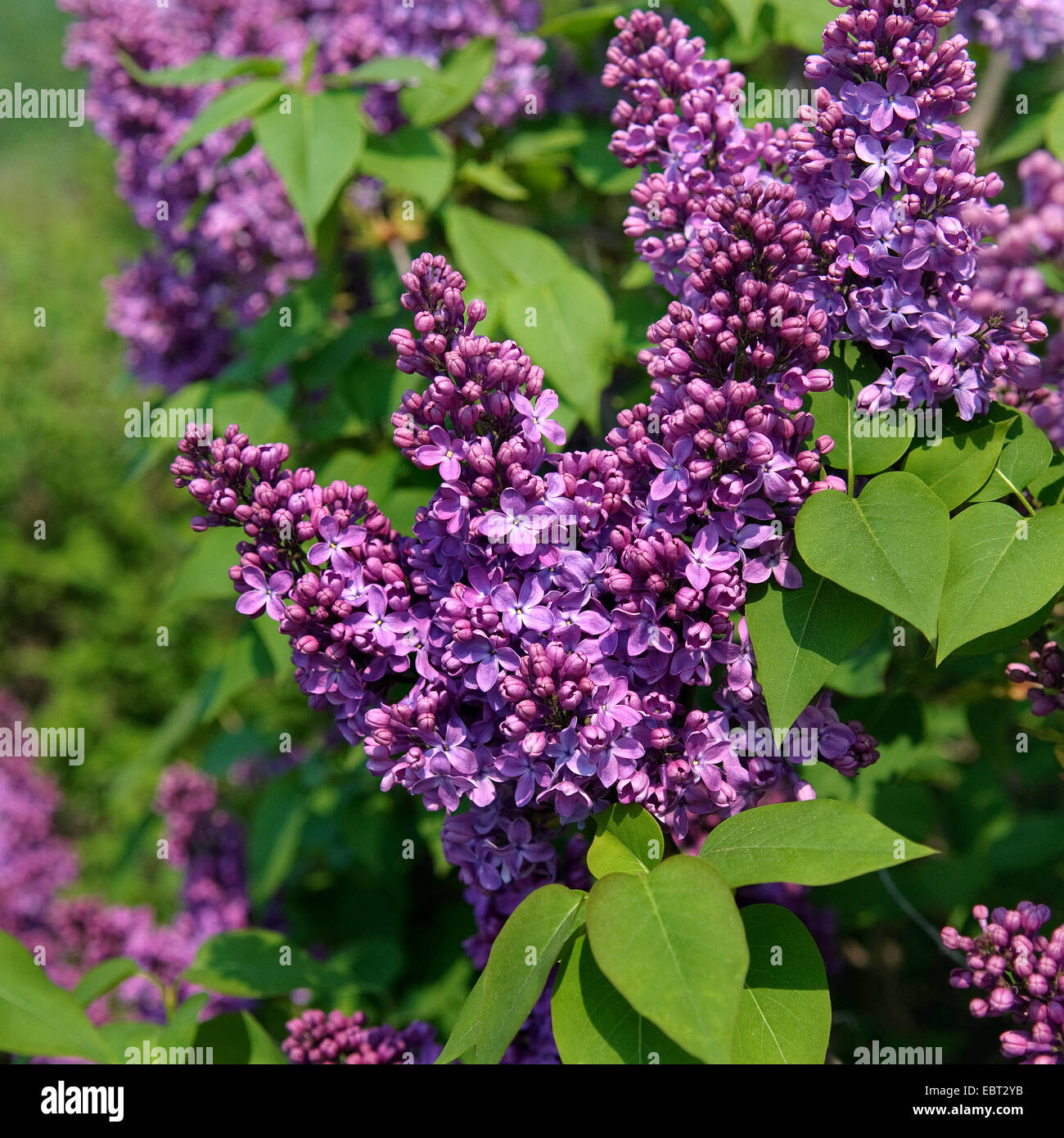 common lilac syringa vulgaris 39 ruhm von horstenstein 39 syringa stock photo royalty free image. Black Bedroom Furniture Sets. Home Design Ideas