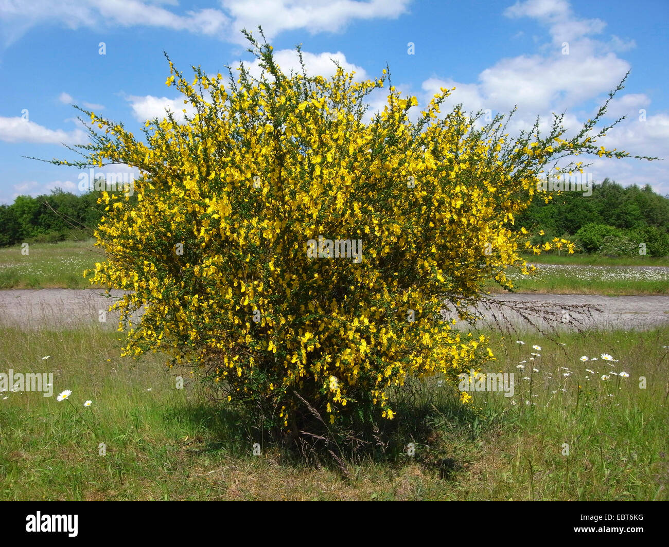 Common Flowering Bushes