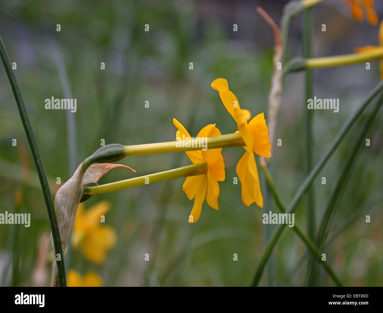 jonquil Narcissus jonquilla flowers of wild form Stock Royalty Free