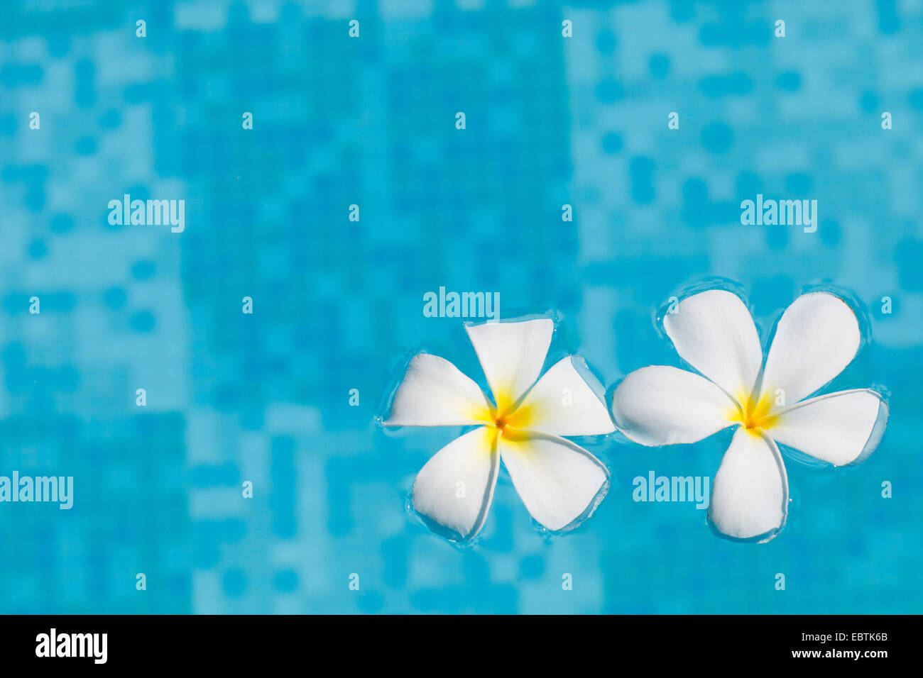 Two frangipani flowers in blue water stock photo royalty free image two frangipani flowers in blue water izmirmasajfo