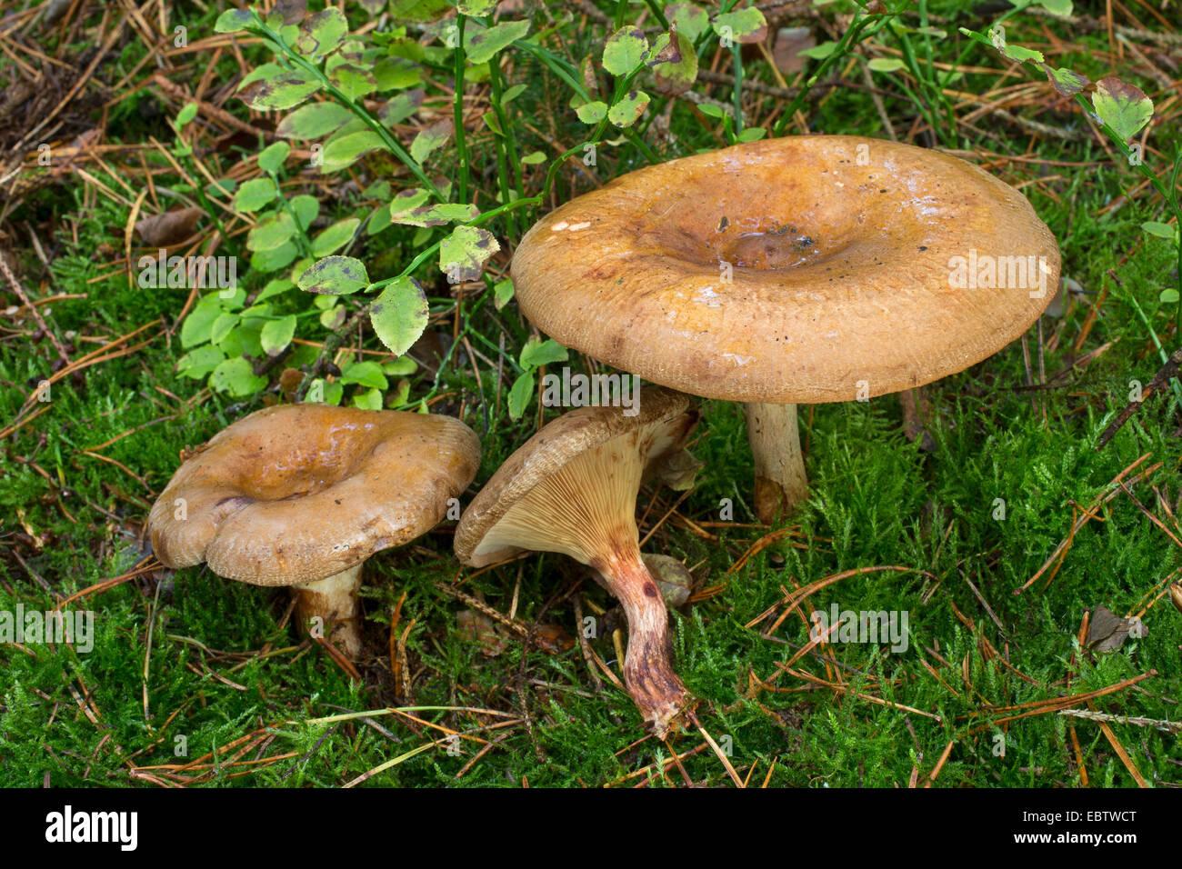 brown roll rim common roll rim poison pax paxillus involutus stock photo royalty free image. Black Bedroom Furniture Sets. Home Design Ideas
